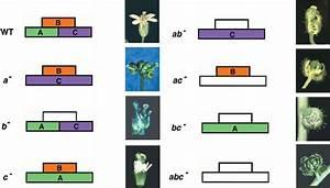 Abc Model And Floral Organ Identity Mutants Of Arabidopsis