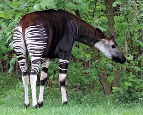 Okapi  Mammal Britannicacom