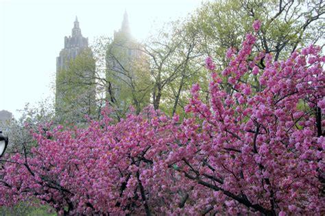 cherry blossom tree central park photos