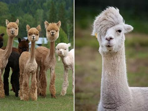 Shaved Alpacas For Your Viewing Pleasure