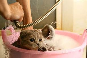 how to bathe a cat 5 best flea shoo your cats would cat overdose