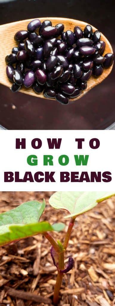 How To Grow Black Beans  Brooklyn Farm Girl
