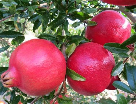 trio   pomegranate varieties heads  south africa