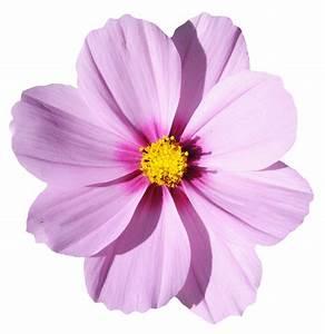 Blossom Flower PNG Transparent Image - PngPix