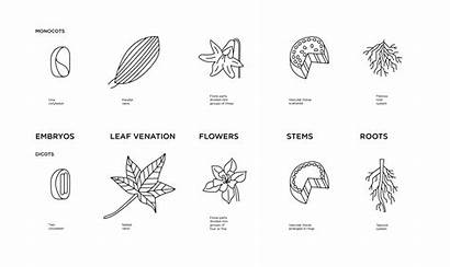 Monocot Dicot Leaf Diagram Plant Weeds Differences