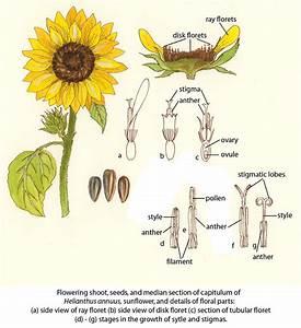 Sunflower  U00a9fao  Guida Joseph