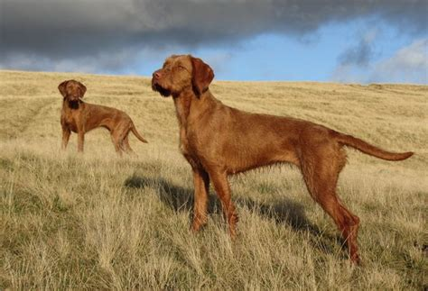 interesting wirehaired vizsla dog care facts
