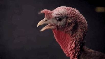 Turkeys Turkey Tap Scared Evil Surprised Play