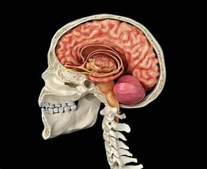 Limbic System Stock Photos  Pictures  U0026 Royalty