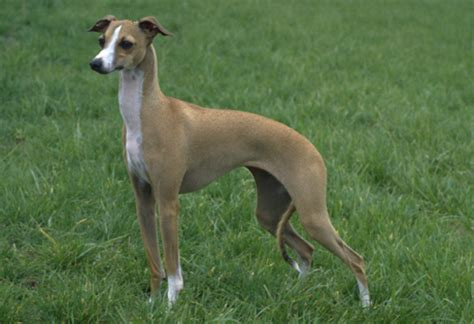 do italian greyhounds shed a lot large hypoallergic breeds pets world