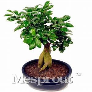 Ficus Ginseng Kaufen : online kaufen gro handel ginseng baum aus china ginseng baum gro h ndler ~ Sanjose-hotels-ca.com Haus und Dekorationen