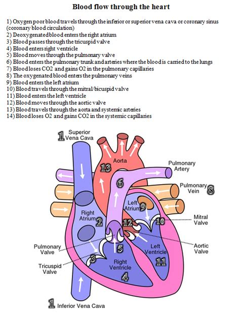 blood flow   heart diagram  written steps