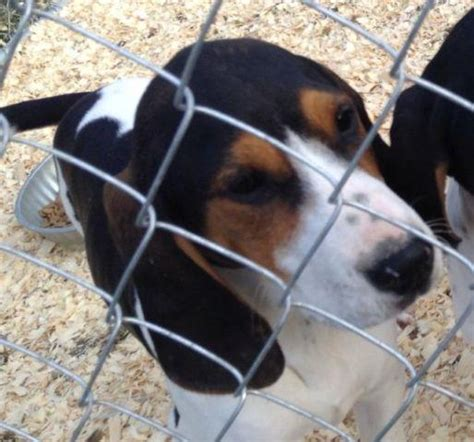 walker coonhounds treeing brodhead americanlisted ky kentucky
