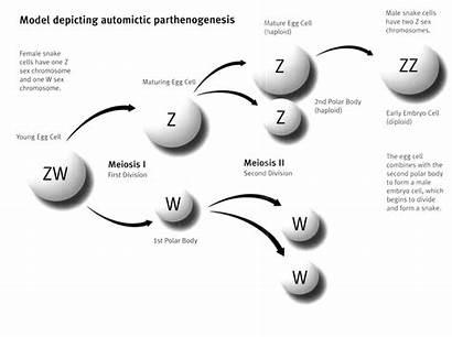 Parthenogenesis Reproduction Asexual Animal Method Development Virgin
