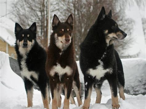 lapponian herder dog breed information american kennel club