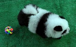 Pandas as pets?!? That's impawsible!!! | SoraNews24