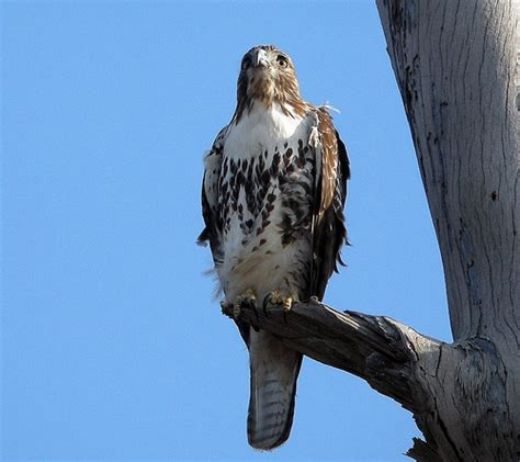 red tailed hawk buteo jamaicensis southern california