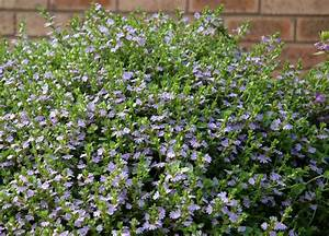 Anguss Top Ten Australian Groundcovers Gardening With Angus
