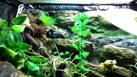 red eyed tree frog setup youtube