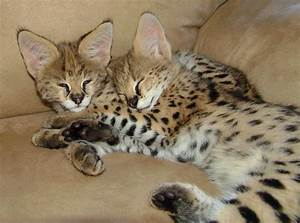 Baby African Serval Cat