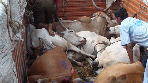 Cow Slaughter Dravidian Traffickers And Beefs Own