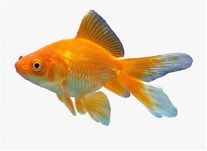 Fish Goldfish Transparent Clipart Webstockreview Tribal