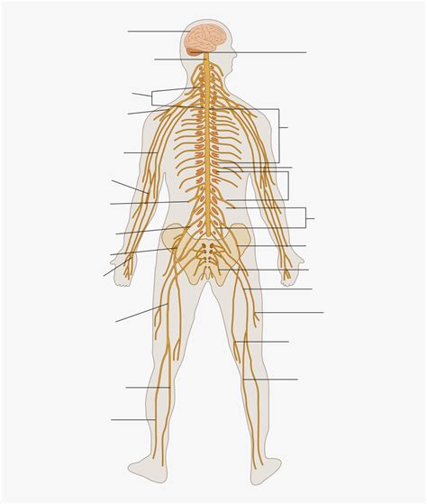 Peripheral nervous system, medical vector illustration diagram with. Nervous System Png - Grade 6 Nervous System Parts ...