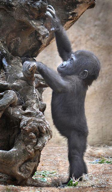 baby gorilla   climb tree luvbat