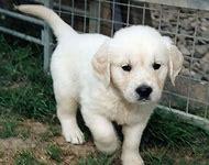 White Golden Retriever Puppy