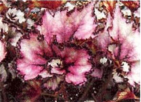 Zimmerpflanzen Datenbank Koenigsbegonie by Begonia Rex K 246 Nigsbegonie Zimmerblumen