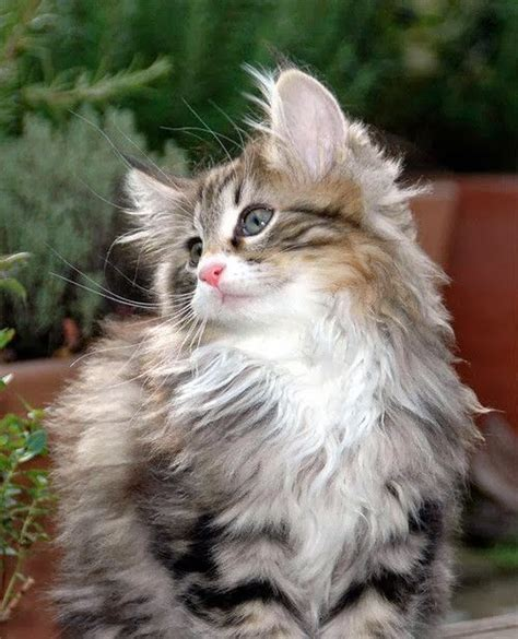 141 best images about maine coon cats on pinterest cats
