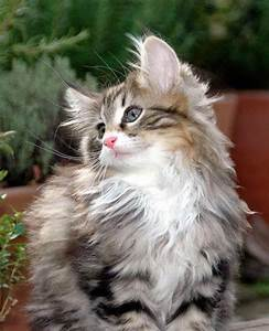 141 best images about Maine Coon Cats on Pinterest | Cats ...