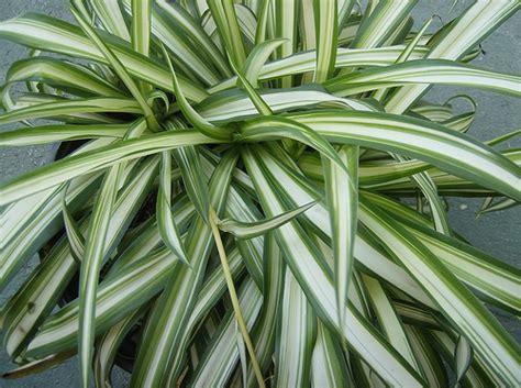falangio  nastrino chlorophytum consigli coltivazione