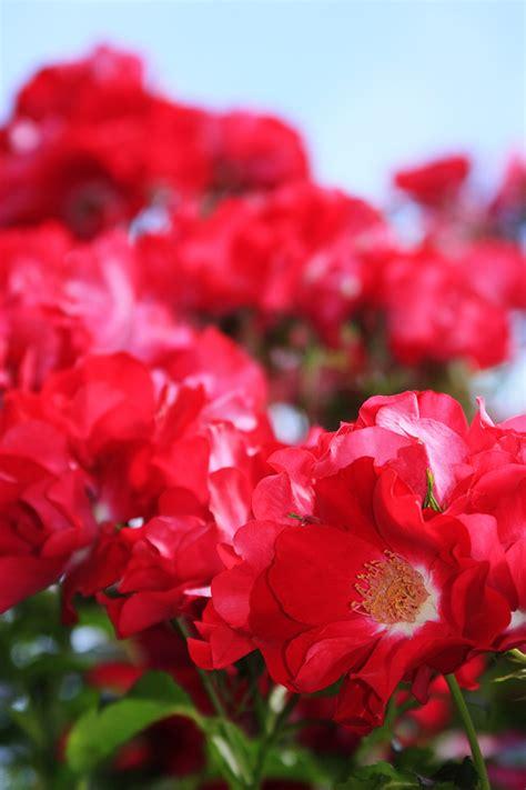 portland roses international rose test garden portland oregon partaste