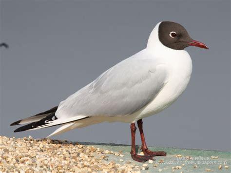 Gabbiano Testa Nera - guincho black headed gull larus ridibundus birds of