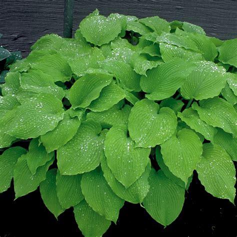 large hostas varieties hosta garden greenville sc giant hostas large hosta plants