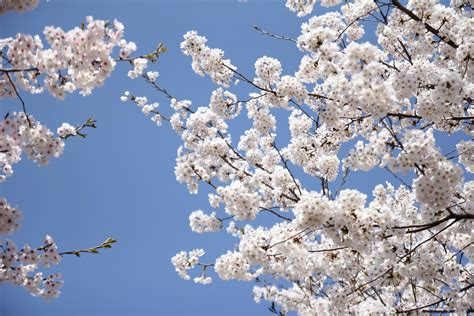Free Images cherry blossom white branch