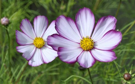 picture of cosmos flower plant of the day cosmos david s garden diary
