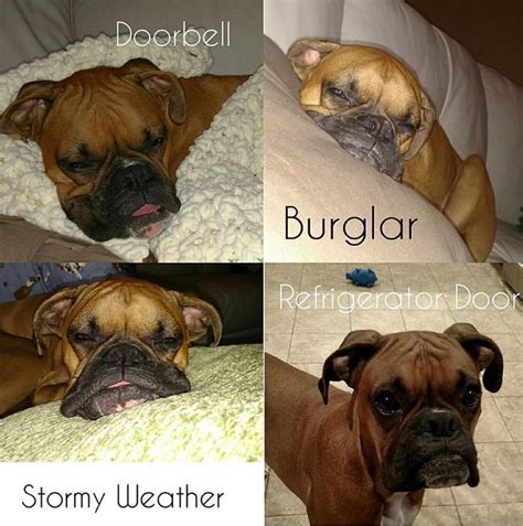 Boxer Dog Meme - funny dog meme boxer www pixshark com images galleries with a bite