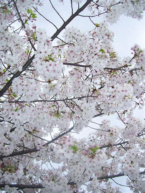 white flowering plum tree 63 b 228 sta bilderna om vit som sn 246 white as snow p 229 pinterest