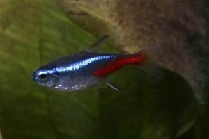 How to breed Neon tetras — Practical Fishkeeping Magazine