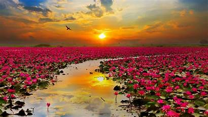 Lotus Flowers Background Wallpapers Sunset Pink Lake