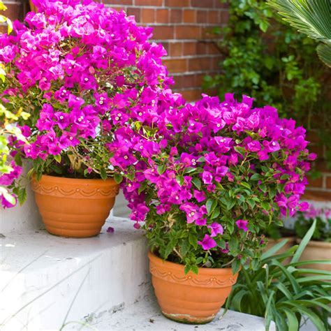 planting bougainvillea in pots 44 best shrubs for containers bougainvillea shrub and gardens