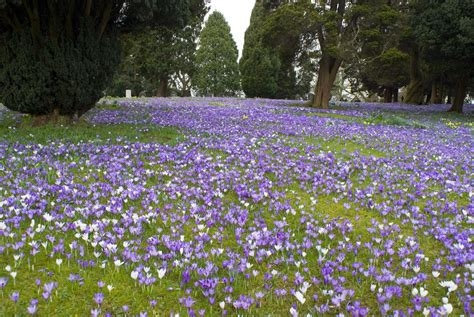 Free Stock Photo 7881 Green Lawn Covered In Crocus Flowers