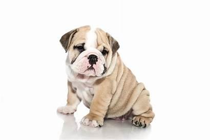 Bulldog Puppy Dog Puppies English Dogs Wallpapers