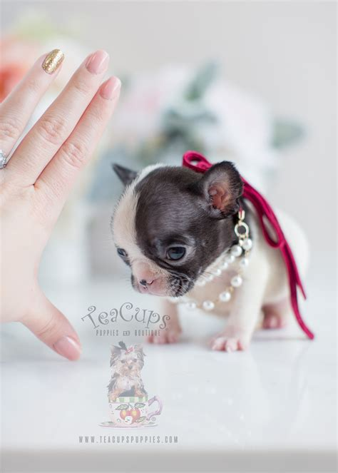 Tiny French Bulldog Puppies Teacups Puppies Boutique