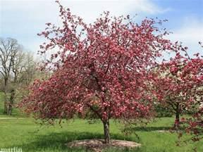Ruby Tears Crabapple Tree
