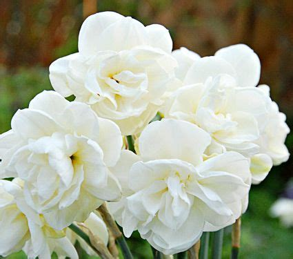 narcissus of may white flower farm