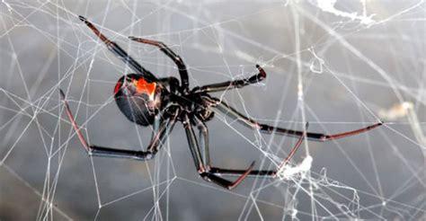 taree pest control redback spider facts  control