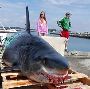 Fishermen snag second-largest shark ever from Nova Scotia ...